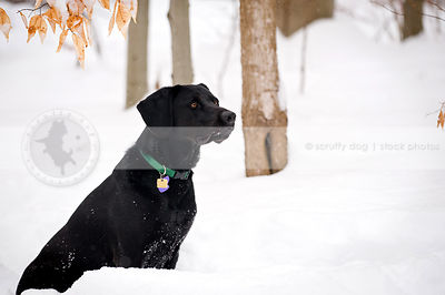 handsome alert black dog sitting in a snowy forest