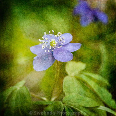 Blue Anemone Wildflower