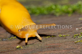 Banana Slug Tentacles 5