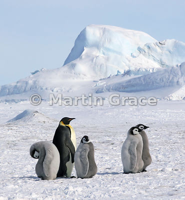 Emperor Penguin (Aptenodytes forsteri) adult and chicks, by Snow Hill Island, Weddell Sea, Antarctica