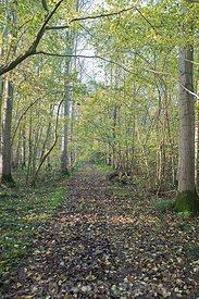 Woodland track through deciduous wood North Norfolk autumn