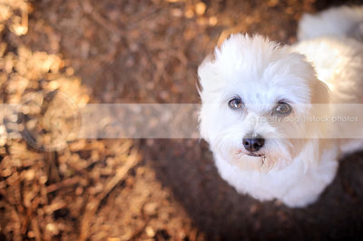 closeup headshot of white havanese dog looking up into camera