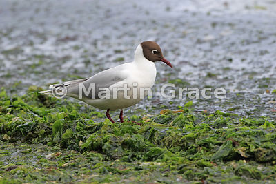 Adult Brown-Hooded Gull (Larus maculipennis) in breeding plumage, Chiloe Island, Chile
