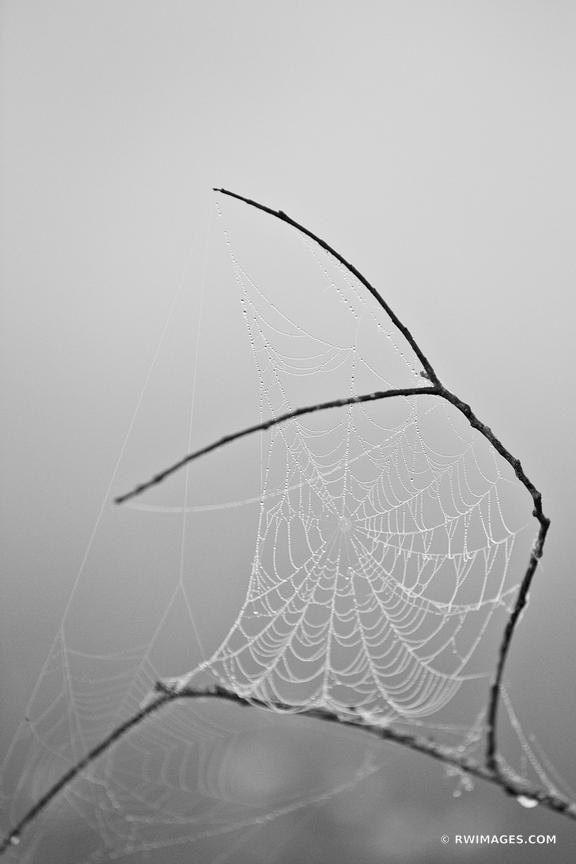 SPIDERWEB WITH DEW EARLY MORNING EVERGLADES FLORIDA BLACK AND WHITE