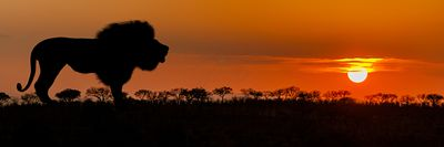 African Lion Silhouette Sunset Banner