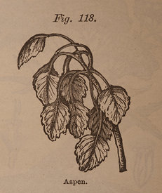 Illustration of an Aspen Leave
