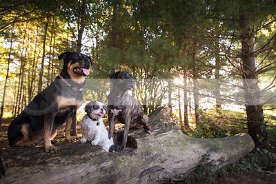 three alert dogs posing sitting on log in pine forest