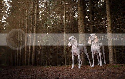 two large white hounds standing together in pine forest