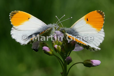 Two male Orange Tip butterflies (Anthocharis cardamines) waiting on Cuckoo Flower (Lady's Smock) (Cardamine pratensis) for a female to mate with, Cumbria, England