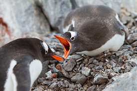 Gentoo penguins making noise and threatening to protect a nest at the Antarctic Peninsula.