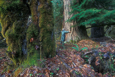 The photographer hugs a huge big Douglas-fir tree in the Hoh Valley, Olympic Rainforest, Washington.