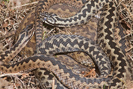 Adder Vipera berus three coiled together basking in early spring sunshine on heath North Norfolk early spring