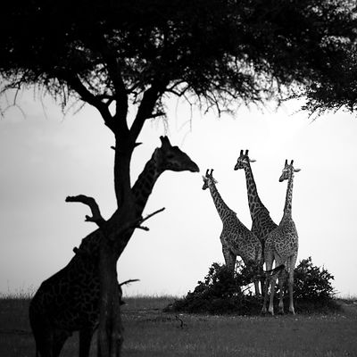 Giraffidae photos