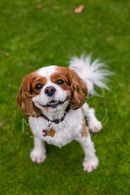 Cavalier spaniel smiling in the grass