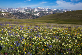 Alpine Flowers on Beartooth Plateau