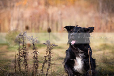 excited black and white longhaired dog in field