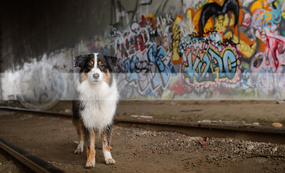 tricolor longhaired dog standing in urban graffiti train tunnel
