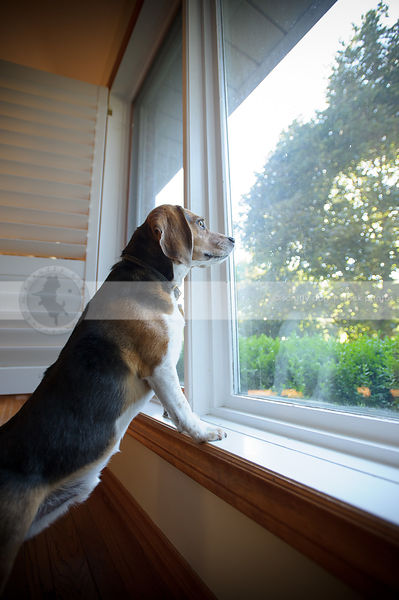 dog with two legs on windowsill looking out window from indoors