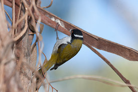 white Napped Honey eater