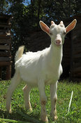 Close up of a goat kid facing camera on farm in Kenya Africa
