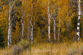 Trembling Aspens in Autumn Color in Great Basin National Park