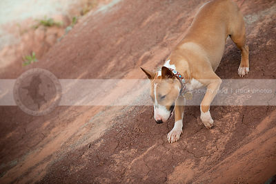 shorthaired tan and white dog descending down red clay hill