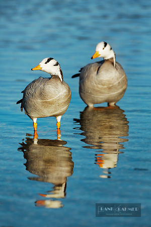 Bar-headed goose (anser indicus)  - Europe, Germany, Bavaria, Upper Bavaria, Munich - digital - Getty image 504404893