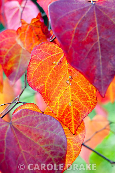 Cercis canadensis 'Forest Pansy'. The Cors, Laugharne, Camarthenshire, Wales, UK