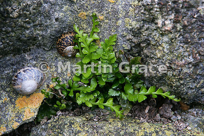 Sea Spleenwort (Asplenium marinum) growing on the granite wall of an old tin mine engine house, Cornwall