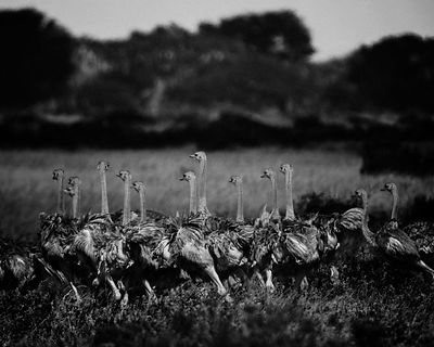 42425-Ostriches_Kenya_2013_Laurent_Baheux