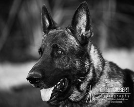 Portrait of a GSD