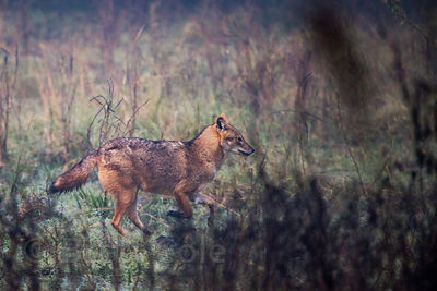 Jackal (Canis aureus), Keoladeo National Park, Rajasthan, India