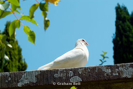 White Dove, the gardens, National History Museum, St fagans, Cardiff, Wales.