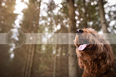 closeup of shaggy red dog looking skyward in forest of pine trees