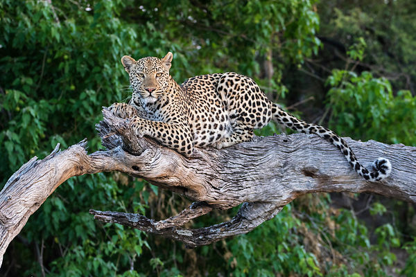 Portrait of a Femal Leopard on a Dead Tree