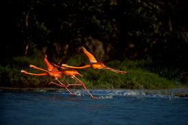 12401_11_Flamingoes_final