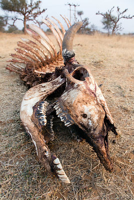 Cow skeleton in the sands of the Thar Desert in remote Baroon village, Rajasthan, India