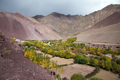 Autumn colors in the stark landscape of Hemis High Altitude National Park, Ladakh, India