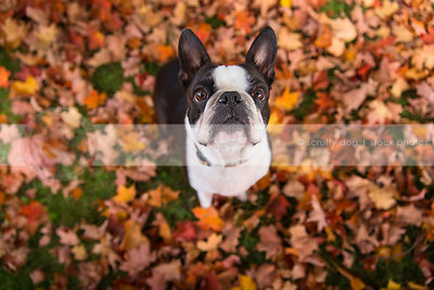 small boston terrier dog looking upward from autumn leaves