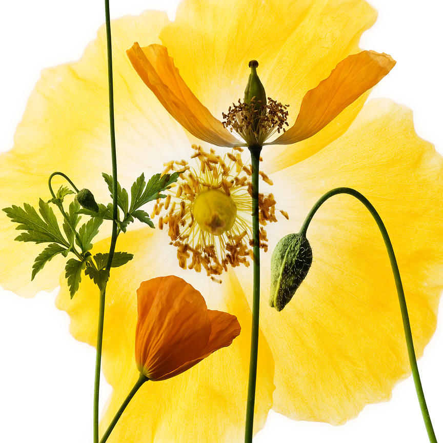 Welsh Poppy 20x16 inches £195