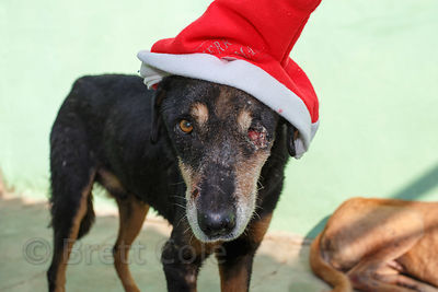 Dog in a Santa hat missing one eye on Christmas day at the Tree of Life for Animals rescue center (tolfa.org.uk) near Pushkar, Rajasthan, India