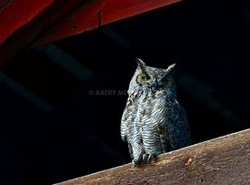 Horned owl at Richelderfer's barn