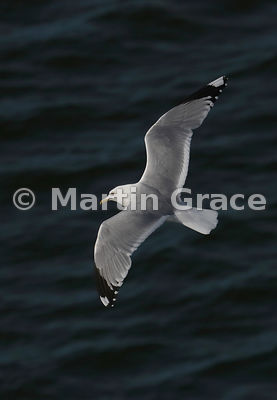 Common Gull (Mew Gull) (Larus canus) in flight, Aberdeen, May 25