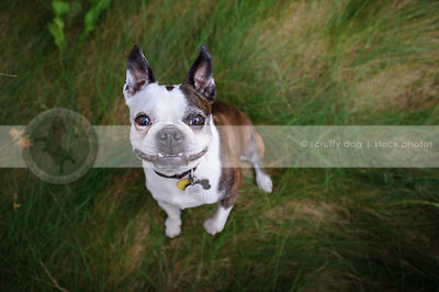 humorous boston terrier dog staring from grasses