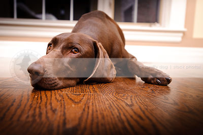 expressive brown dog looking sad lying on floor indoors