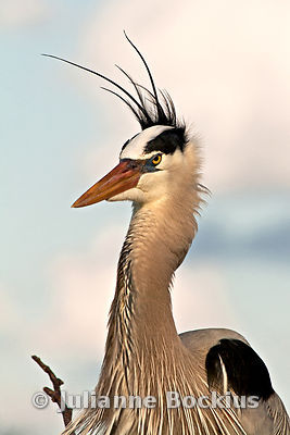 Great Blue Heron portrait in the wind