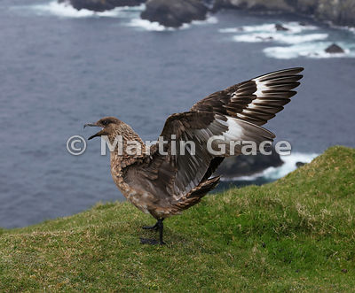 Great Skua (Bonxie) (Stercorarius skua, Catharacta skua) calling as it folds its wings, Hermaness National Nature Reserve, Unst, Shetland