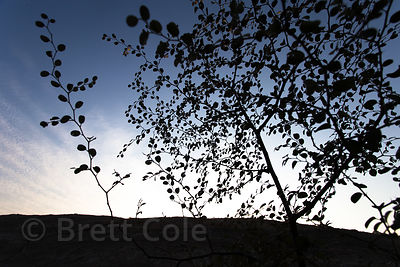 Silhouette of desert foliage at dusk, Chat Sardarpura vilage, Rajasthan, India