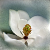 Magnolia Art Photography