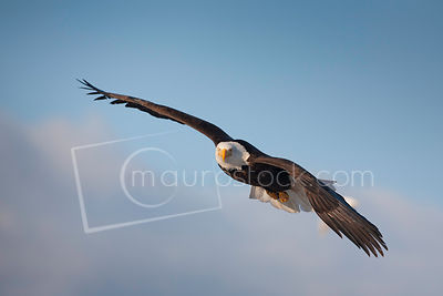 Bald Eagles photos